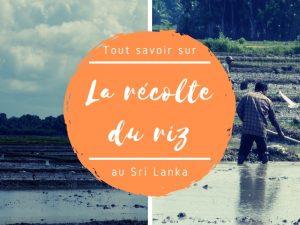 Récolte du riz au Sri Lanka