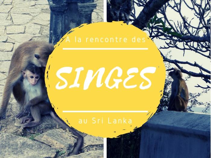Singes au Sri Lanka