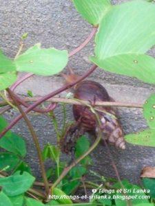 escargot au sri lanka