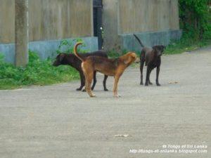chients errants au Sri Lanka