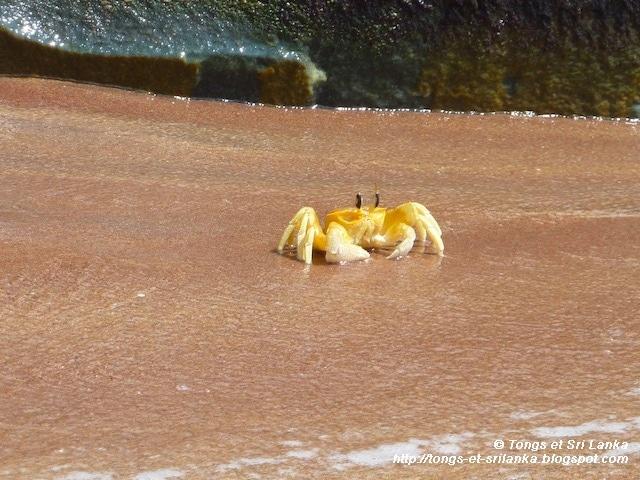 crabes au Sri Lanka