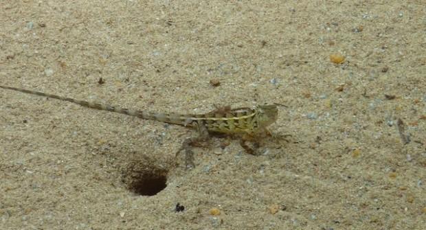 Lézards et autres petites bêtes «moches» au Sri Lanka !