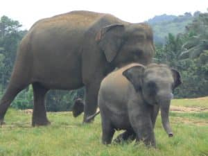 Eléphants Pinnawela Sri Lanka