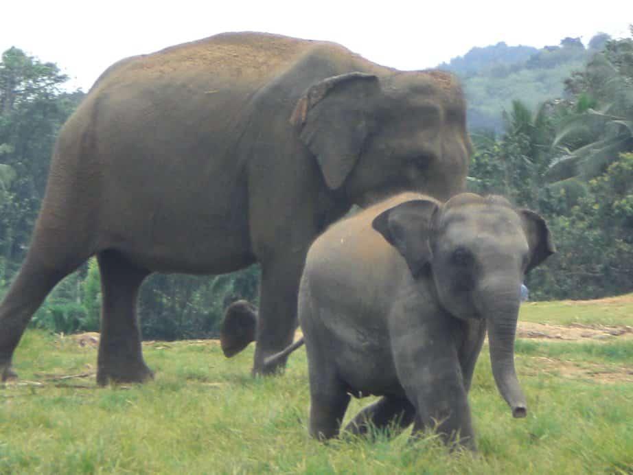 Les éléphants et leurs bébés à l'orphelinat de Pinnawela !