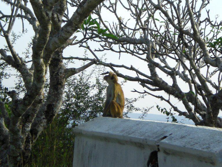 J'en connais qui font les singes au Sri Lanka !
