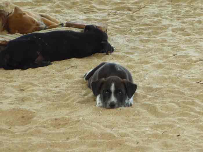puppy in sri lanka
