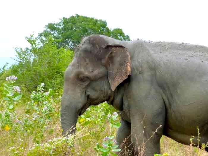 uda-walawe-elephant-gros-plan
