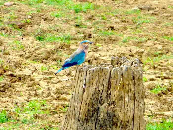 uda-walawe-oiseau-bleu