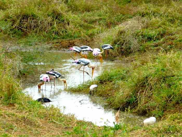 uda-walawe-oiseaux-roses