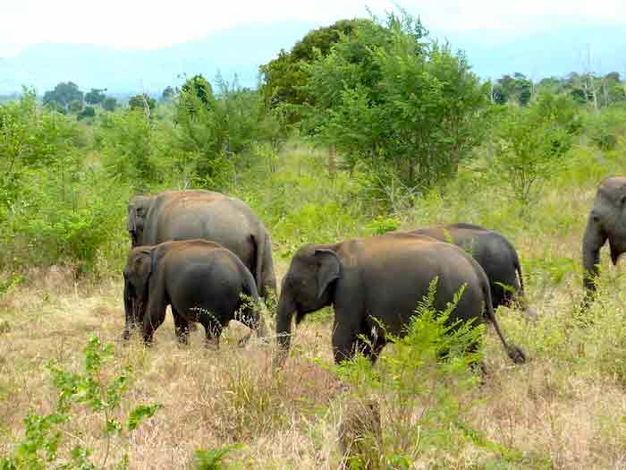 uda-walawe-troupeau-elephants