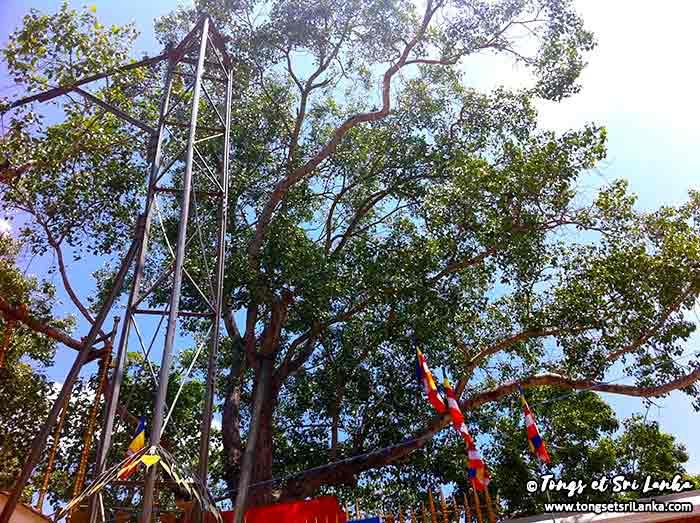 Arbre Bodhi à Anuradhapura au Sri Lanka