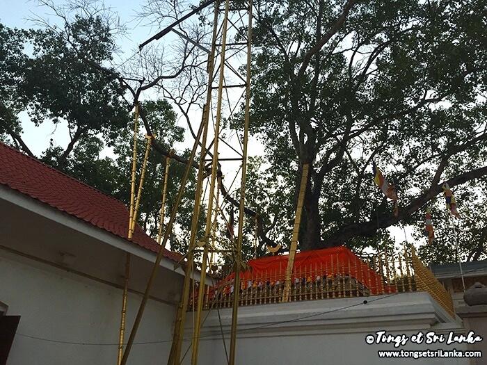 arbre bodhi au sri lanka