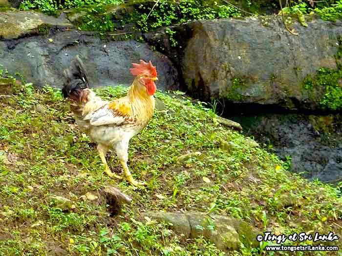 Coq au Sri Lanka au niveau d'Aluvihara