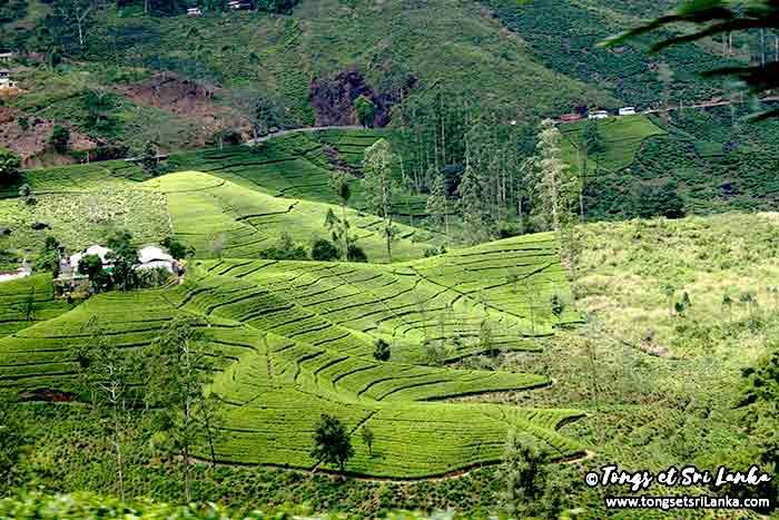 plantations de thé au sri lanka - tongs et sri lanka