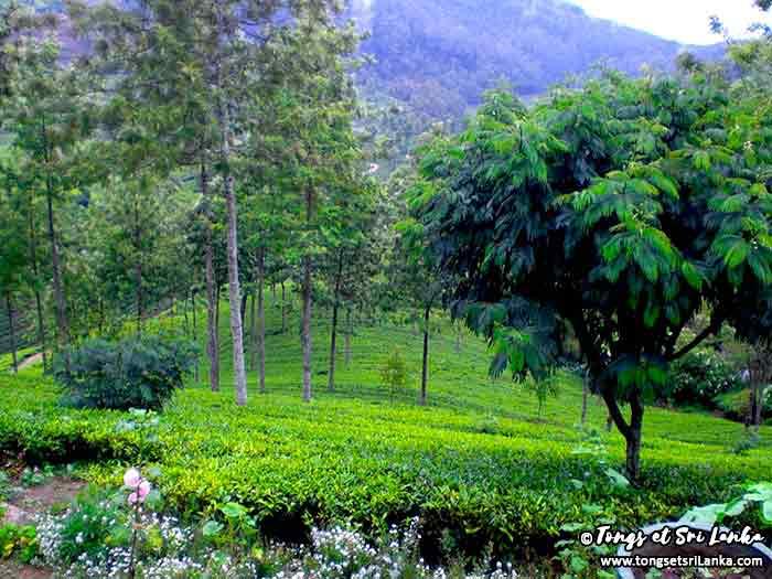 région du thé dans les montagnes - plantations de thé au sri lanka - tongs et sri lanka