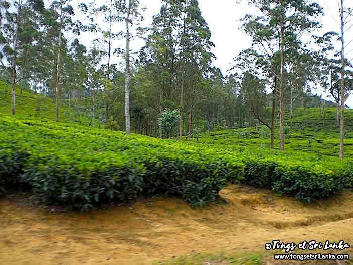 théiers au Sri Lanka - plantations de thé au sri lanka - tongs et sri lanka