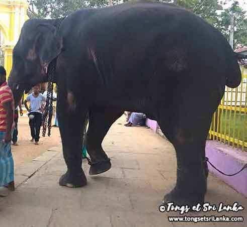 éléphant maltraité au sri lanka