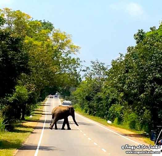 éléphant sauvage qui traverse la route au sri lanka