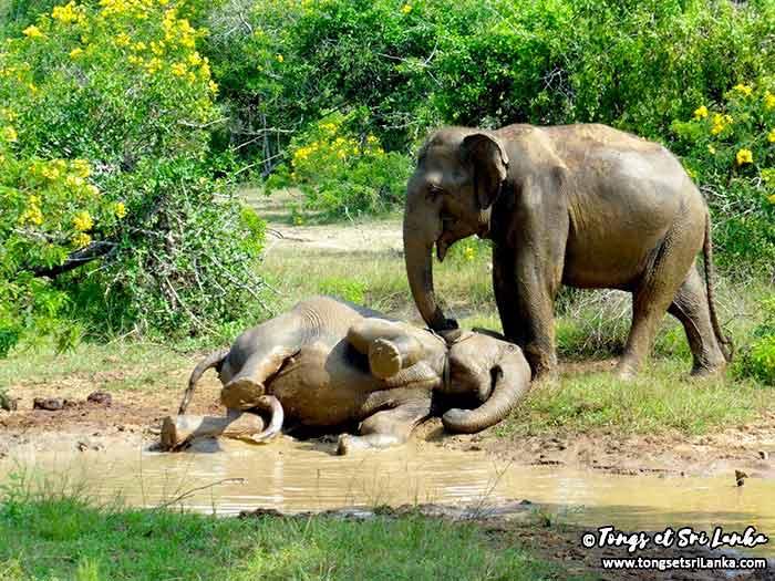 éléphants en liberté au sri lanka