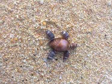 tortue en coquillage faite par amour au Sri Lanka