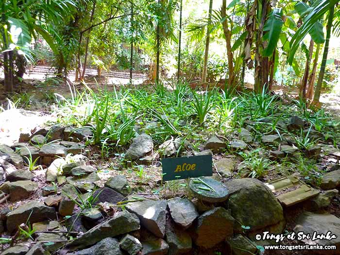 aloe verra dans un jardin d'épices au Sri Lanka