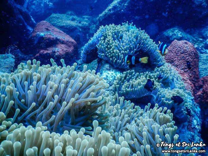 coraux et poissons clown au Sri Lanka