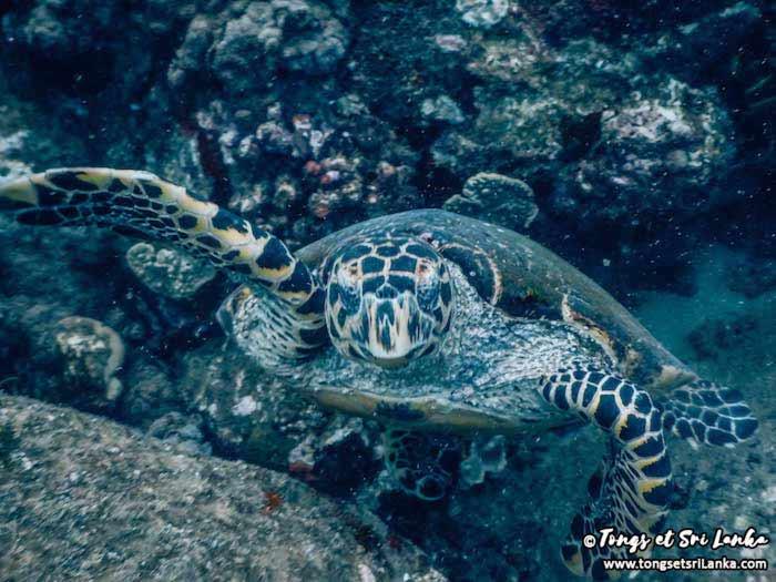 nager avec une tortue au sri lanka