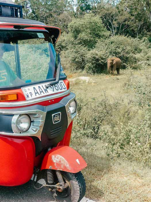 éléphant sauvage au sri lanka