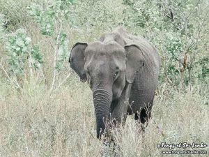 Safari à Uda Walawe