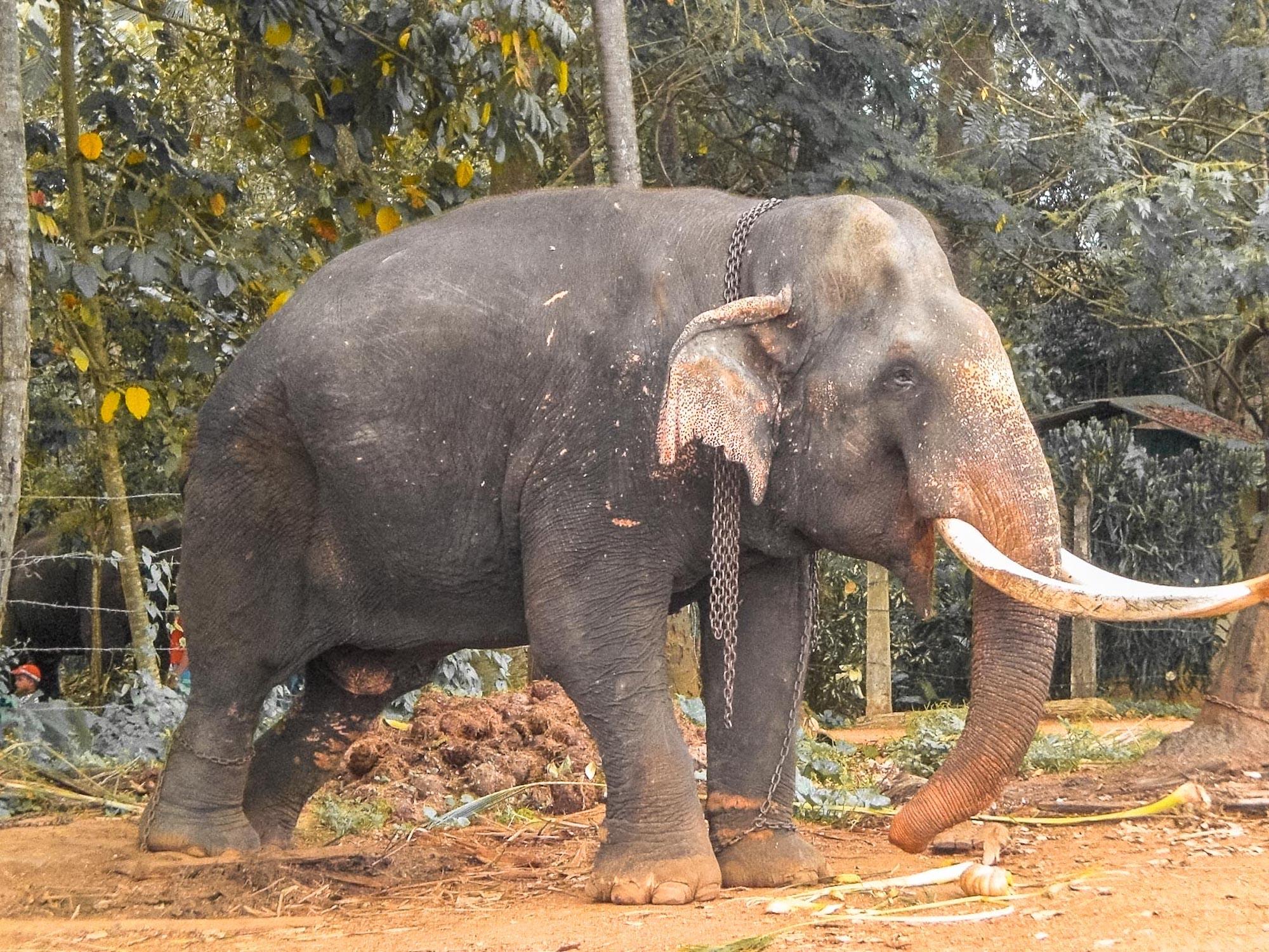 éléphant enchaîné au sri lanka
