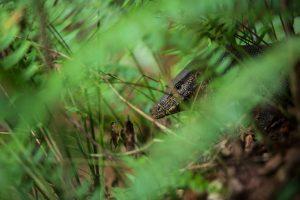 serpent sri lanka