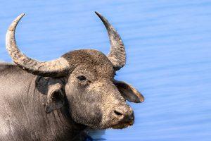 buffalo à yala