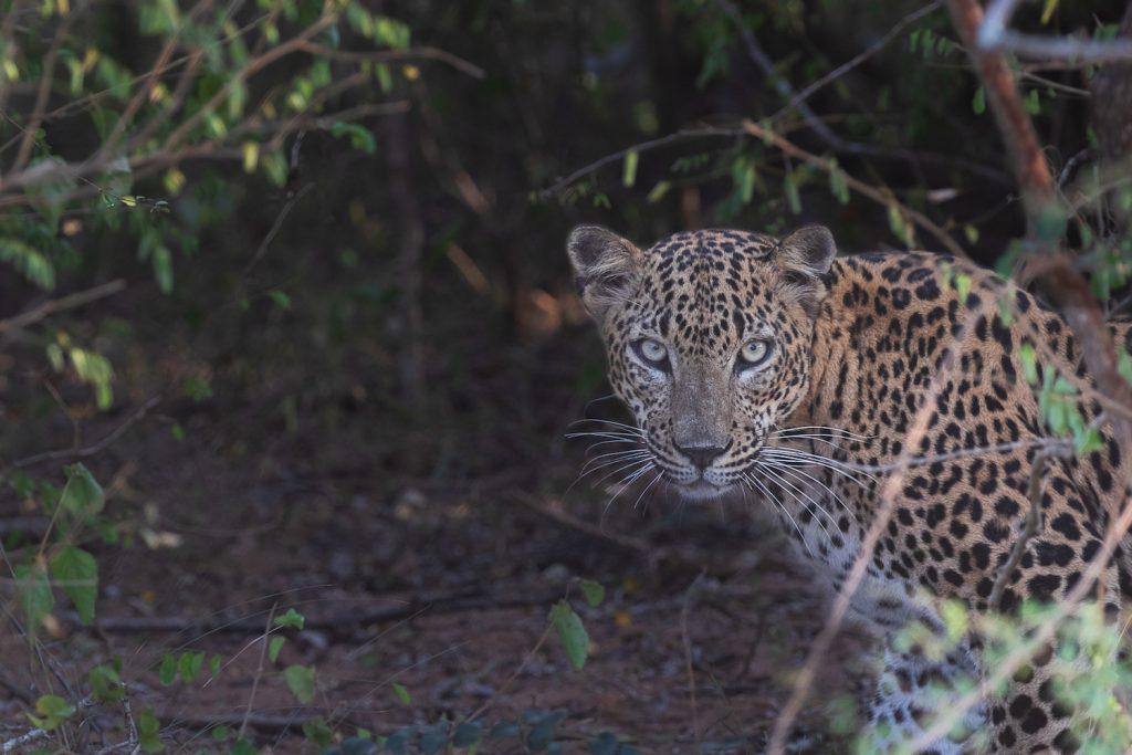 leopard a yala