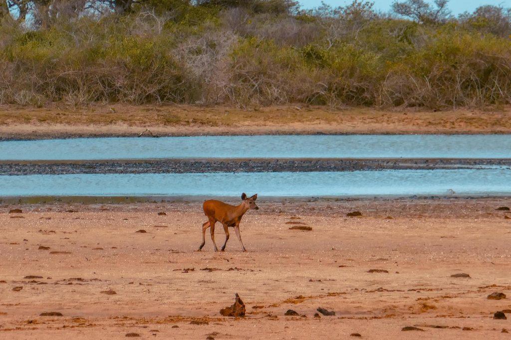 antilope yala