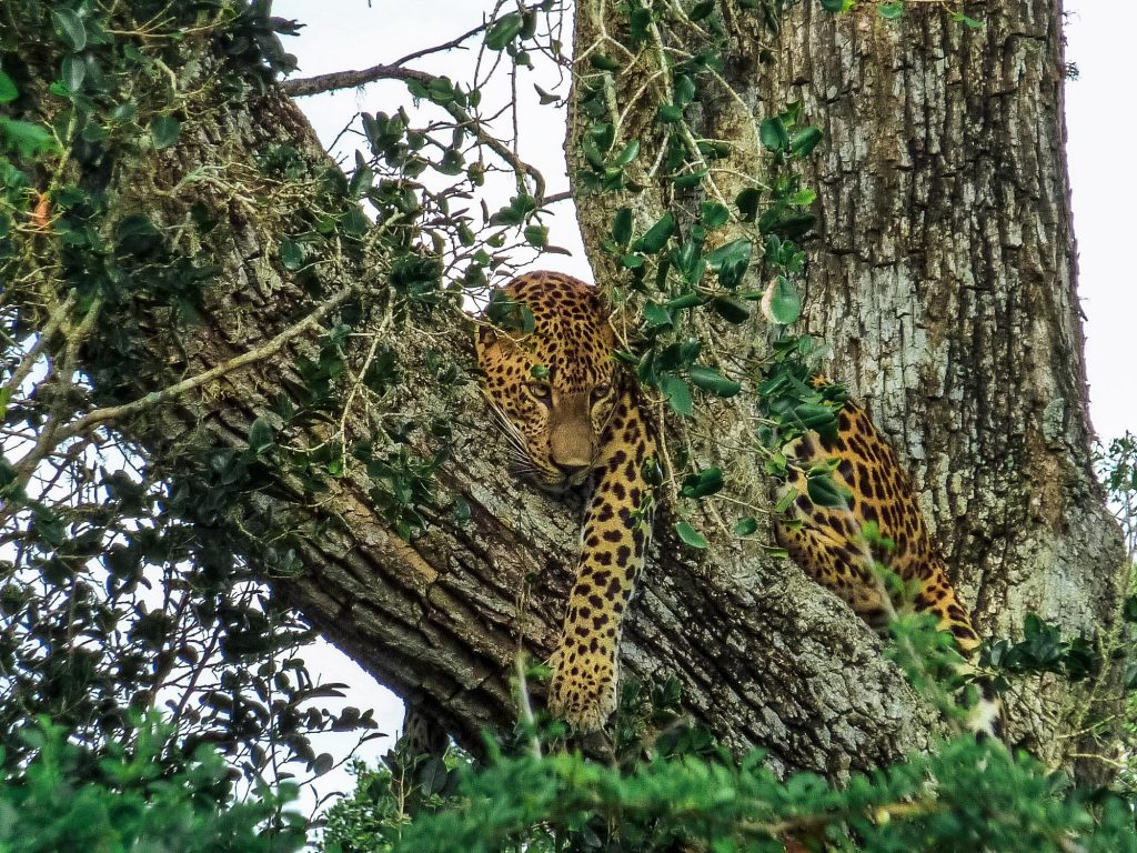 léopard au sri lanka