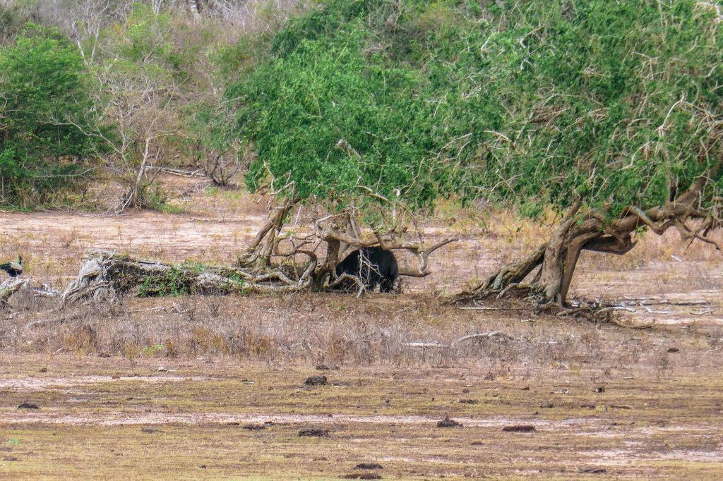 ours au sri lanka