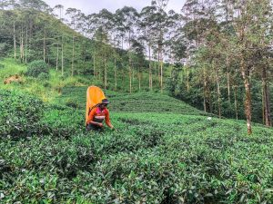 plantations de thé au sri lanka en 2019