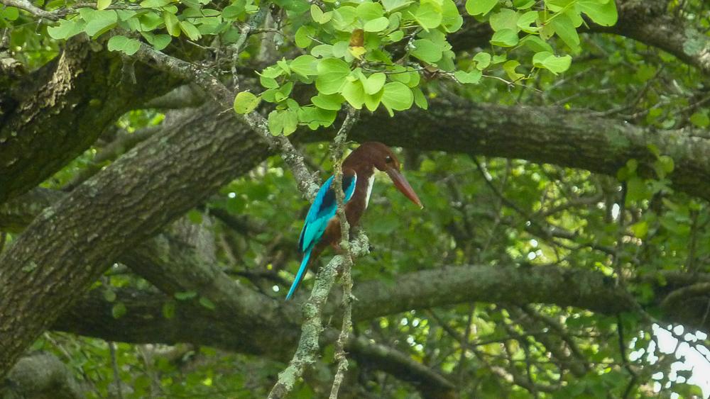 oiseau kingfisher polonnaruwa